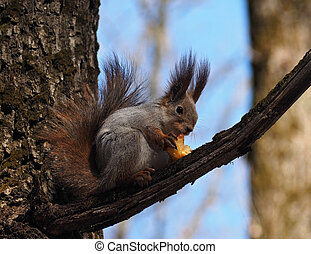 Squirrel eating the apple at the tree