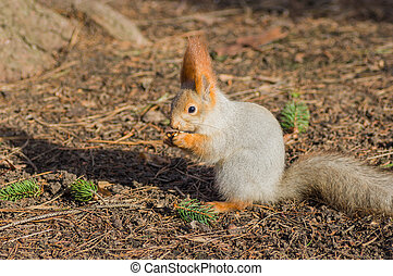 Squirrel eating walnut on the ground