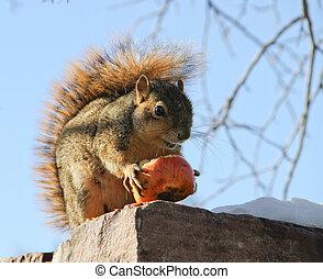 Squirrel eating winter apple