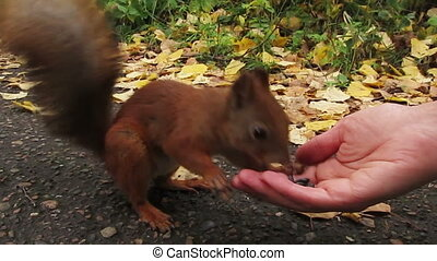 Squirrel eating with human hands