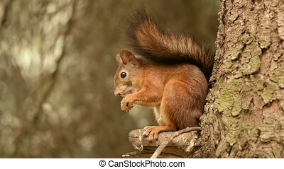 Squirrel eats nuts on the tree