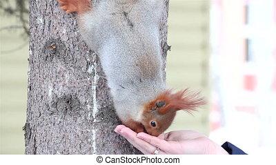 Squirrel eats sunflower seeds