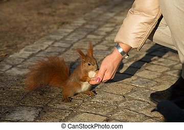 Squirrel fed from the hand of man. Horizontal.
