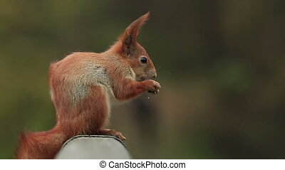 Squirrel Feeds and Listen CU - Red squirrel close-up eats...