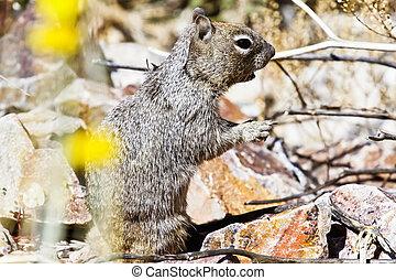 Squirrel Foraging in the Desert