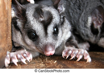 Squirrel Gliders in Nest Box - Endangered Australian...