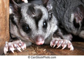 Squirrel Gliders in Nest Box - Endangered Australian...