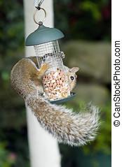 Squirrel - Grey squirrel (Sciurus carolinensis) eating nuts...