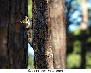 Squirrel Hanging on to Tree Looking at Camera