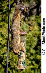 Squirrel hangs upside down snacking on bird seeds - squirrel...