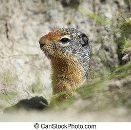 Squirrel head in the ground. British Columbia. Canada