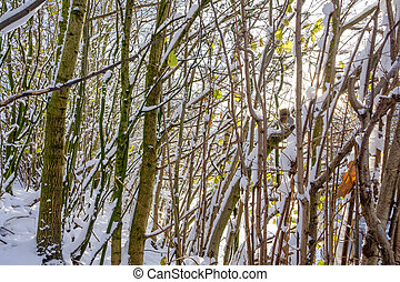 Squirrel Hunting for Food in Winter - A squirrel is hunting...