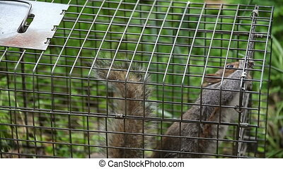 squirrel in a trap - a lively squirrel has been caught in a...