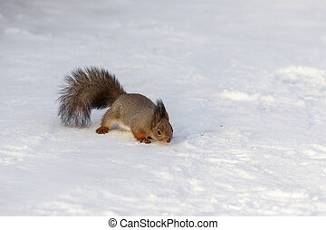 Squirrel in a winter day