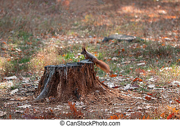 Squirrel in autumn park forest. Autumn squirrel portrait