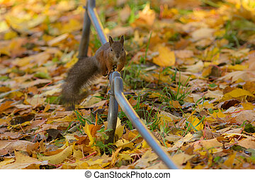 squirrel in autumn park