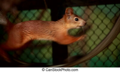 Squirrel in captivity - Squirrel diligently runs on a wheel....