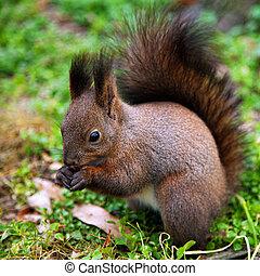 Squirrel in natural habitat eating