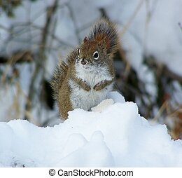 Squirrel in Snowbank - Squirrel setting on snowbank in...