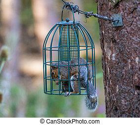 Squirrel in Squrirrel proof bird feeder