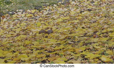 Squirrel in the autumn forest looking for nuts in yellow maple leaves.