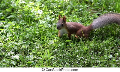Squirrel in the grass on sunny day