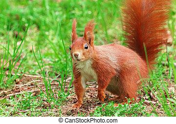 squirrel in the grass Sciurus vulgaris