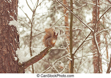 Squirrel in the winter forest