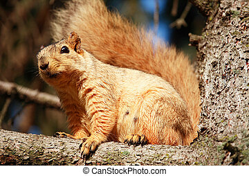 Squirrel in Pine Tree