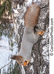 Squirrel in winter with a big nut on a tree upside down
