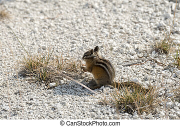 squirrel in Yellowstone National Park