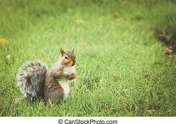 Squirrel is walking on green grass in Central Park, Squirrel on grass