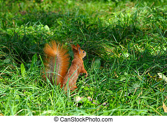 squirrel jumps in the autumn forest