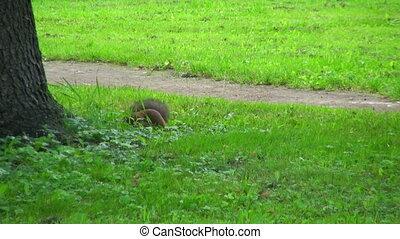 Squirrel jumps on the grass