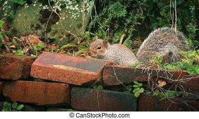 Squirrel Jumps Over Garden Wall - Squirrel hides behind...