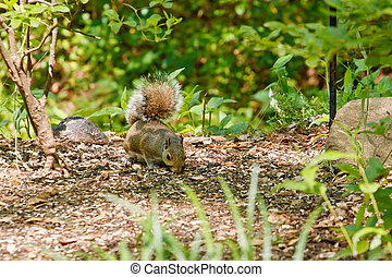 Squirrel Looking For Food in Forest
