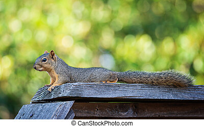 Squirrel lying down over the top of a wooden fence