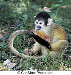 Squirrel monkey eating on the ground