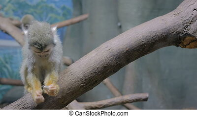 Squirrel monkey eating pumpkin seeds. Exotic animal, feeding, primate and wildlife concept