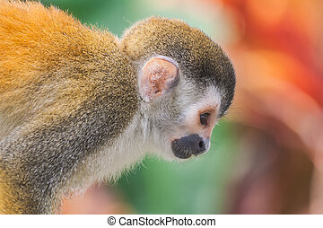 Squirrel monkey en profile in Costa Rica.