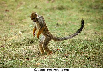 Monkey in the park follow the vegetation. Squirrel monkey.