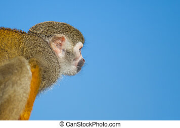 Squirrel Monkey on Branch and blue sky