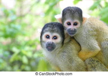 Squirrel monkies - Mother and baby squirrelmonkey