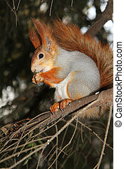 squirrel on a branch of pine with a meal in the hands