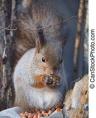 squirrel on a feeding trough