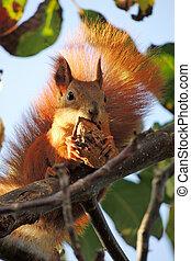 Squirrel on a nut