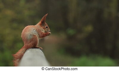 Squirrel on a Railing - Red squirrel sits on a wooden...