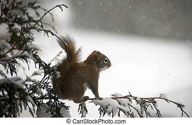 Squirrel on a snowy day. - A cute little cold squirrel ...