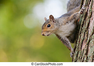 A squirrel peeks around the side of a tree.