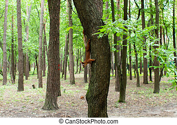 squirrel on a tree in the forest